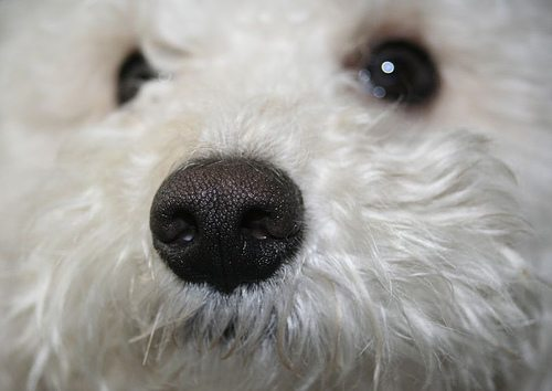 dog's nose sniffing the air - nose work