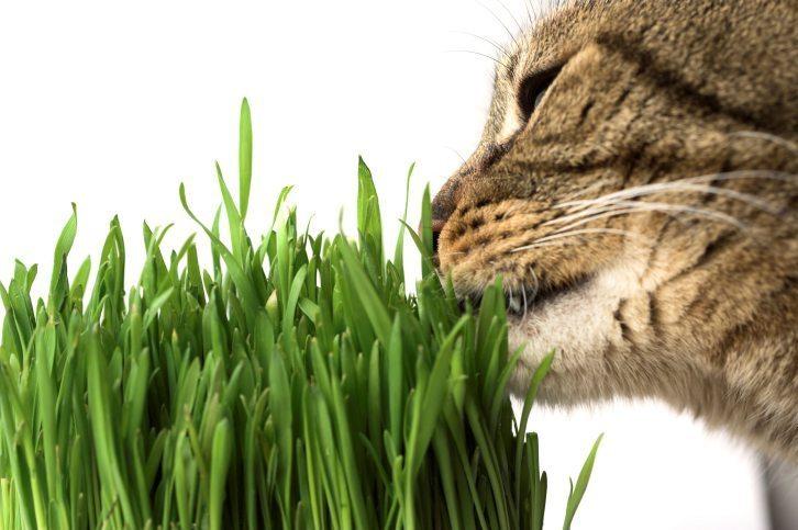 catnip information
