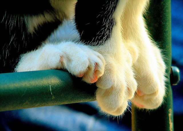 cat with 6 toes