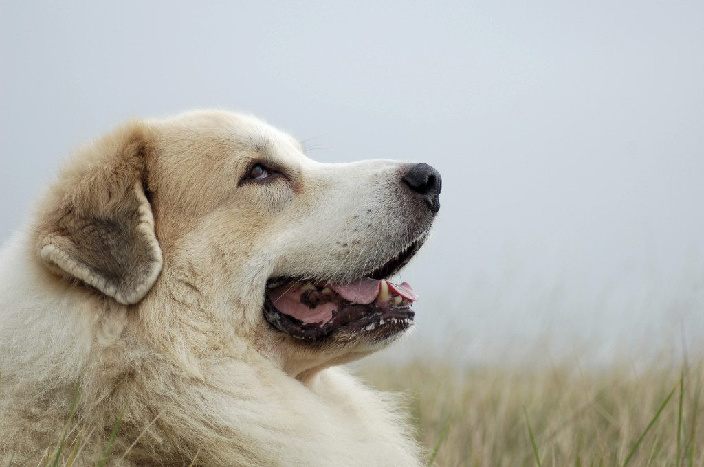 All about the Great Pyrenees