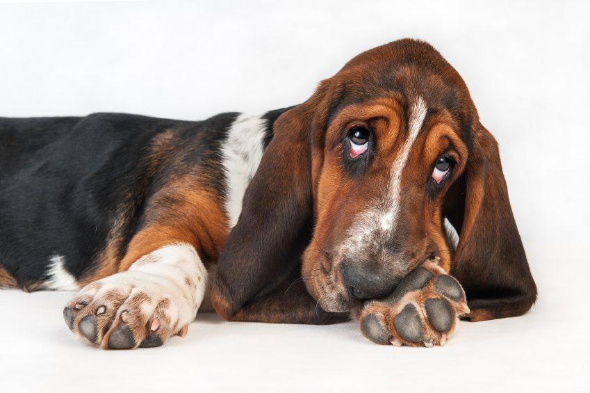 Puppy Basset Hound
