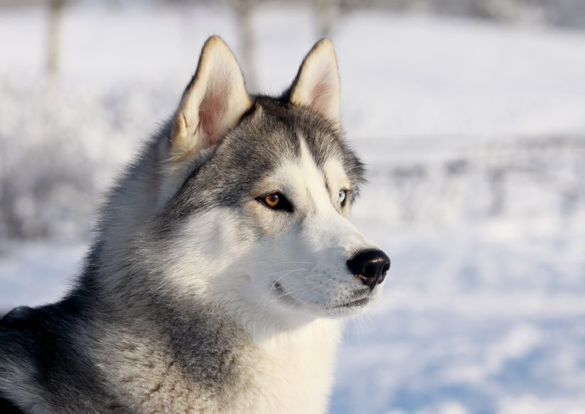 Top 10 dog breeds that shed a lot - Pictures of siberian huskies ...