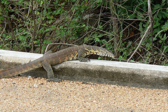 Nile Monitor Lizards Eating Florida's Cats