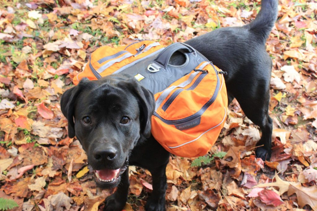 train your dog to wear a backpack, dog backpack, ruffwear backpack