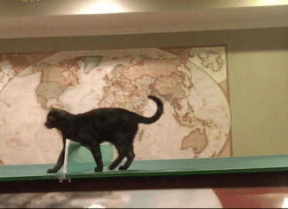 cat playing ping pong, cat playing ball, cat on table