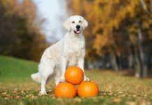 thanksgiving foods safe for pets, foods safe for dogs, food safe for cats