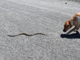 snake bite prevention, dogs and snake bites,