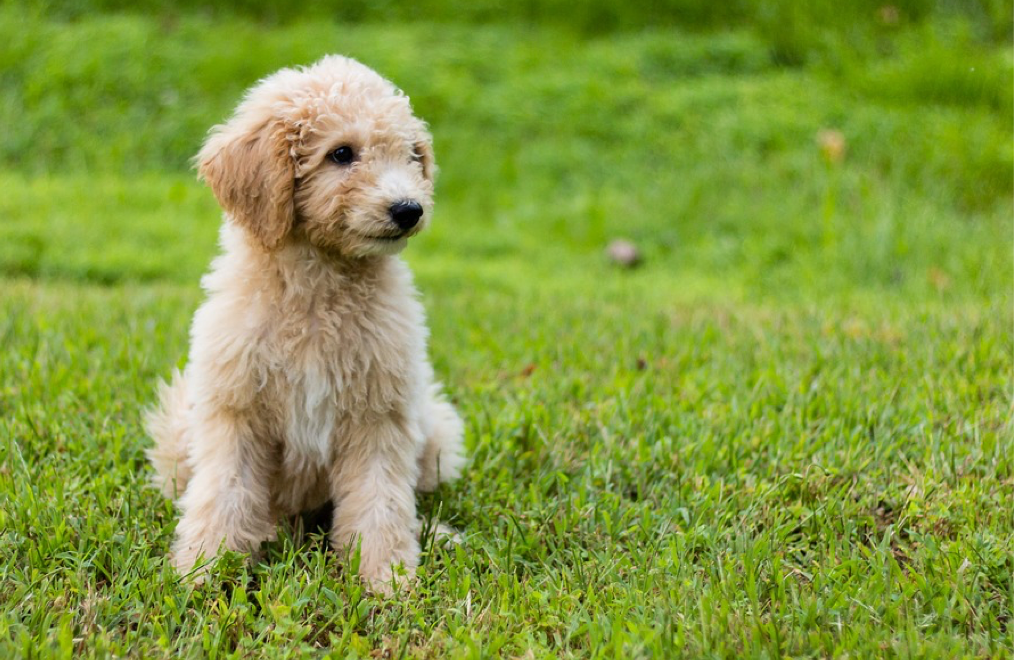 16 surprising and useful facts about Mini Goldendoodle Puppies - Wagbrag